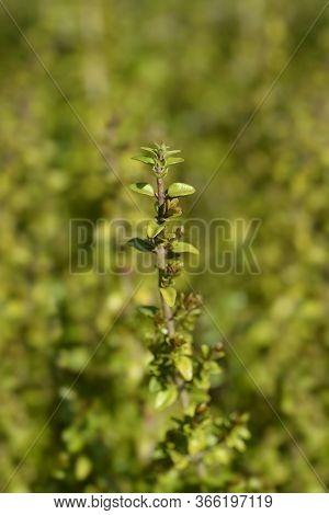 Shrubby Honeysuckle - Latin Name - Lonicera Ligustrina Var. Yunnanensis (lonicera Nitida)