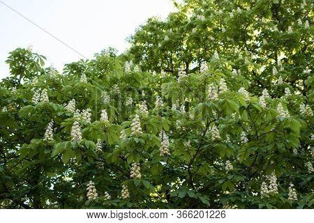 Chestnut Tree Bloom In Spring, White Chestnut Inflorescences