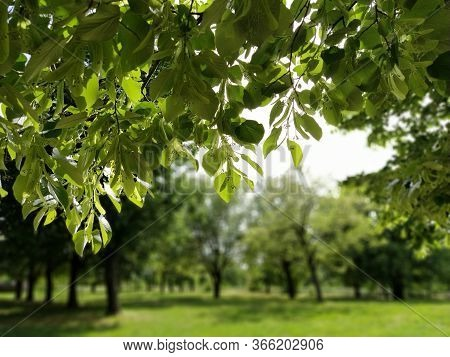 Beautiful Deciduous Forest. Fragrant Linden Flowers. Photograph Taken From Under A Large Branch Of L