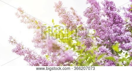 Panoramic View To Spring Background Art With Purple Lilac Flowers At The Blue Sky Background. Beauti