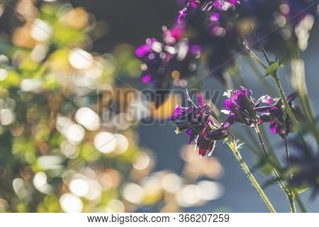 Spring Background Art With Blooming Granny's Bonnet Or Columbine (viola Tricolor) Flowers. Beautiful