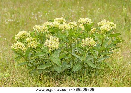 Green antelopehorn milkweed growing in summer pasture
