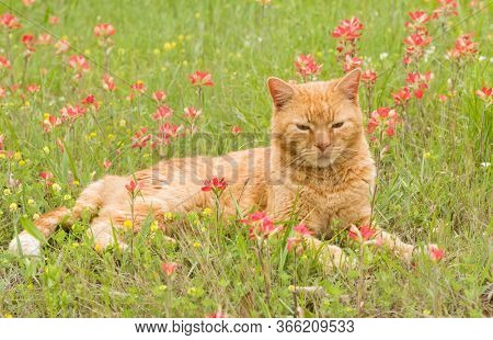 Handsome ginger tabby cat resting in grass surrounded by bright red wildflowers