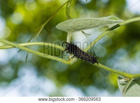 Orange spotted, black, Pipevine Swallowtail butterfly caterpillar climbing up on a pipevine with  tree canopy and sky background