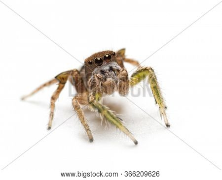 Macro image of a small but handsome male Habronattus viripides jumping spider looking up, on light background
