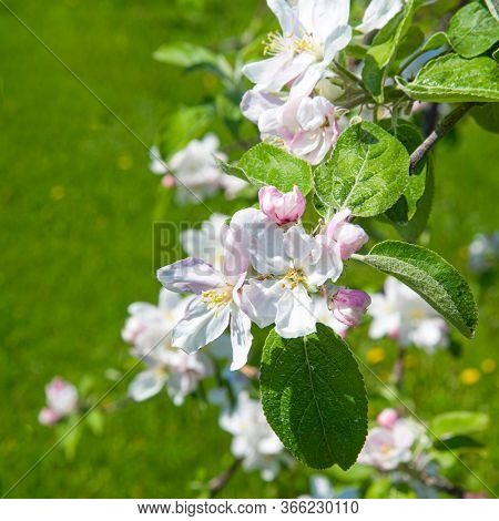 Close up of springtime apple blossoms.