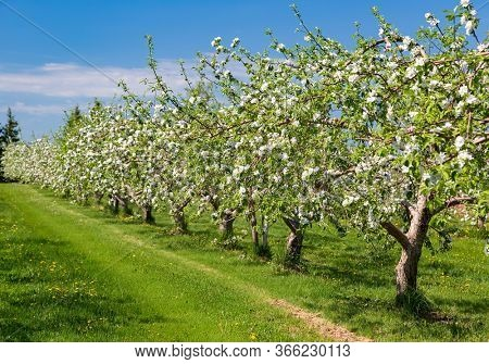 Rows of blooming fruit trees in the apple orchard.