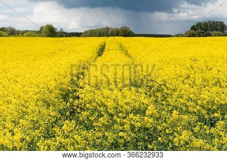 Wonderful View Of Yellow Rapeseed Field With Grey Black Clouds Of A Storm Coming On Background