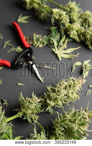 Harvest Weed Time Has Come. The Sugar Leaves On Buds. Growers Trim Their Pot Buds Before Drying. Tri