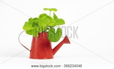 Gotu Kola (centella Asiatica) Leaves  Isolated On White Background