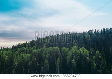 The Tall Pines On The Hill On A Blue Sky Background
