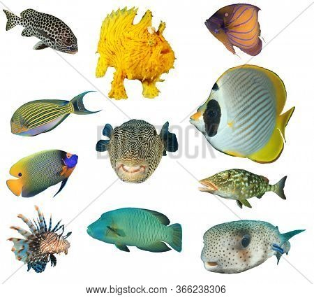 Sea fish isolated. Collection of reef fish cutout on white background. Sweetlips, frogfish, Angelfish, Surgeonfish, Butterflyfish, Lionfish, Puffer fish, Napoleon Wrasse. Emperorfish.