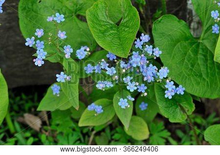 Myosotis Is A Genus Of Flowering Plants In The Family Boraginaceae.