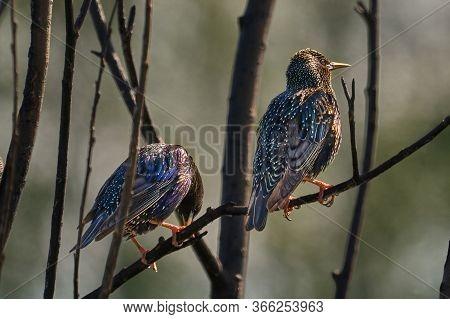 Birds - Common Starlings ( Sturnus Vulgaris ) Sitting On A Branch Of A Bush Spring Day.