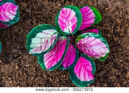 Closeup Of A Pink Elephant Ear Plant, Tropical Plant Specie From America