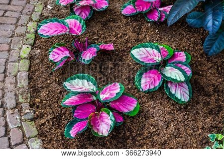 Pink Elephant Ear Plants In A Tropical Garden, Popular Exotic Plant Specie From America