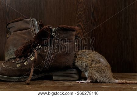 Close-up Of A Rat Crawls Into   A Leaky Brown Boot On A Wooden Floor. The Concept Of Rodent Control