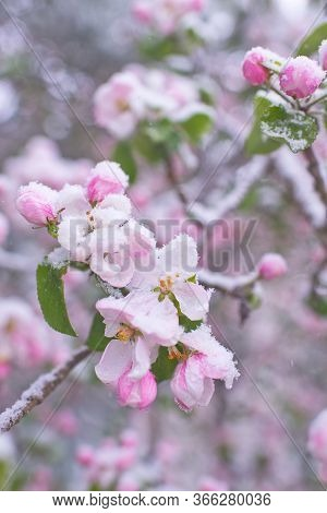 Beautiful Spring Apple Blossoms Covered With Snow. Bloom Tree Flowers Covered In Snow. Spring Frost