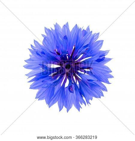 Close Up Of Blue Cornflower Flower Isolated On White Background.  Blue Cornflower Herb Or Bachelor B
