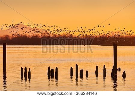 Mount Baker Snow Geese At Sunrise. A Large Flock Of Snow Geese Take Off From The Fraser River At Sun