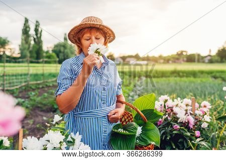 Senior Woman Gathering And Smelling Flowers In Garden. Elderly Retired Woman Putting Peonies In Bask