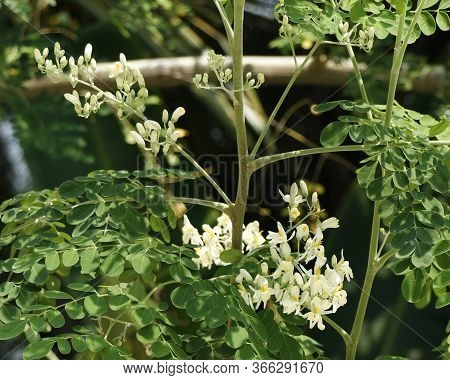Drumstick Vegetable Hanging In Its Own Tree,moringa Oleifera Is The Most Widely Cultivated Species I