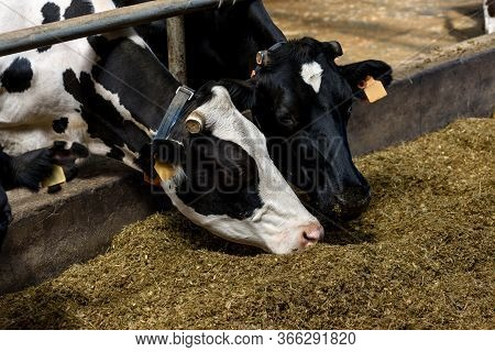 Cows Eat In Cowshed Forage And Hay On Modern Dairy Farm, Close-up.
