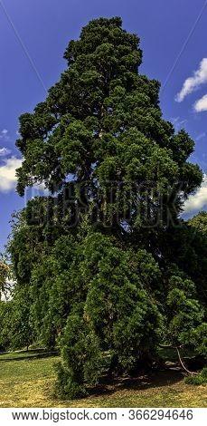 Libocedrus Decurrens Known As Calocedrus Decurrens Or California Incense Cedar