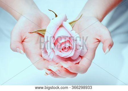 Beautiful Girl Hands Holding Pink Rose. Rose In The Hands Girl. Natural Manicure Nails. Beautiful, N