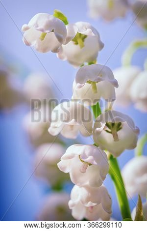 Natural Nature Background With Blooming Beautiful Flowers Lilies Of The Valley Lilies-of-the-valley.