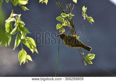Weaving Yellow Southern Masked Weaver Bird (ploceus Velatus), Pretoria, South Africa