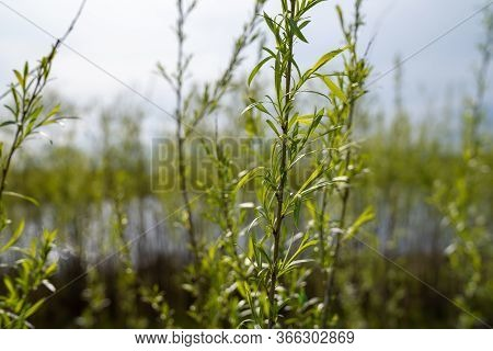 Sandbar Willows (also Known As A Ditchbank Willow Or Coyote Willow) In The Sunshine On The Shores Of