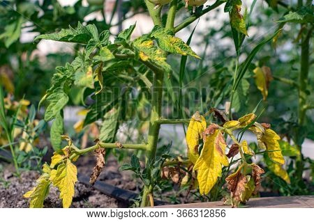 Red Tomato Damaged By Disease And Pests Of Fall Leaves And Fruits Of Tomato
