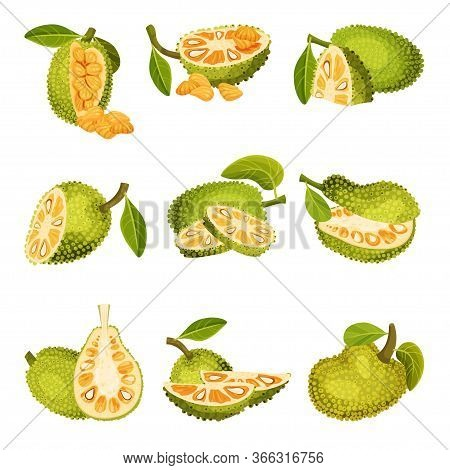 Ripe Bright Green Jackfruit With Seed Coat And Fibrous Core Whole And With Cut Section Vector Set