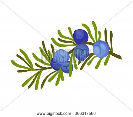 Juniper Plant With Needle Like Leaves And Blue Aromatic Seed Cones Vector Illustration