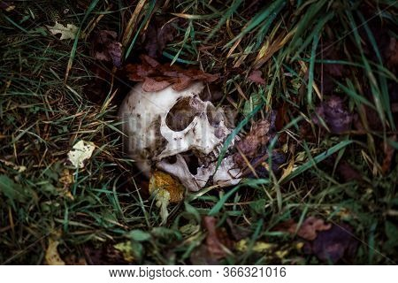 A Human Skull In The Grass Is Buried Under Autumn Leaves. Fake Skull Close - Up In Natural Backgroun