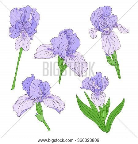 Collection Of Blooming Iris Flowers. Bright Color Spring Botanical Illustration. Hand Drawn And Isol
