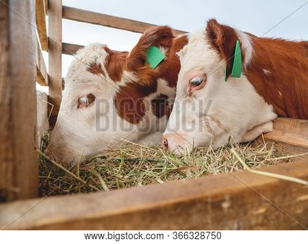 Two Calves Are Eating Hay. Specially Prepared Hay For Cattle. Farm Cows With Tags On Their Ears.