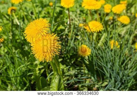 City, Cesis, Latvia. Dandelions Meadow And Yellow Flowers With Grass.