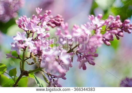 Blooming Branch Of Lilac In The Open Air Blooms In May