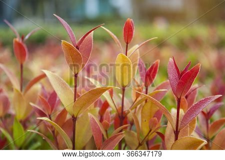 Fresh Red Young Leaves And Small Buds Of Australian Brush Cherry Plant In The Garden, For Landscapin
