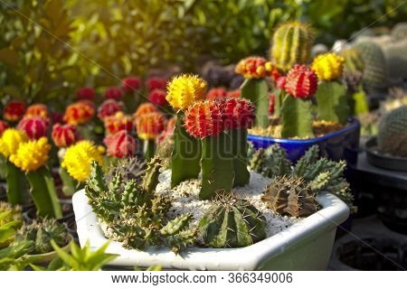 Green Cactus Hybrid Colorful Blooming With Brown Spiny Thorn, Planting In Ceramic Pottery On The Bla