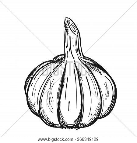 The Head Of Garlic In The Husk. Doodle Style. The Vegetable Is Drawn By Hand And Isolated On A White