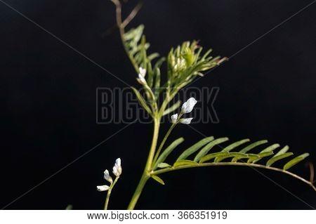 Flower Of A Hairy Vetch, Vicia Hirsuta