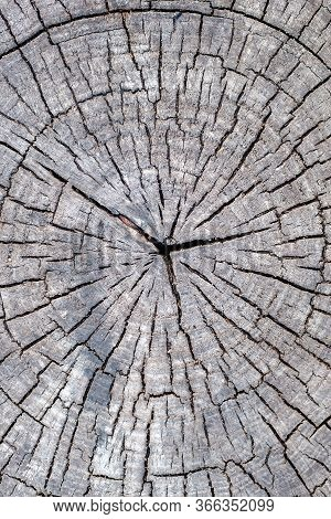 Vertical Texture Of A Poplar Cut Of A Tree. Cracks Running From The Center Of The Tree To The Edge