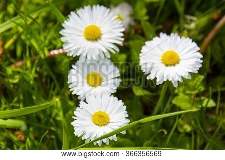 Flowering Of Daisies. Oxeye Daisy, Leucanthemum Vulgare, Daisies, Dox-eye, Dog Daisy,moon Daisy. Gar