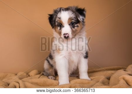 Red Merle Australian Shepherd Puppy, Six Weeks Old