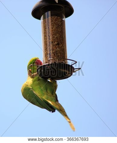 Green Parakeet Feeding On A Hanging Bird Feeder, With A Clear Blue Sky Background