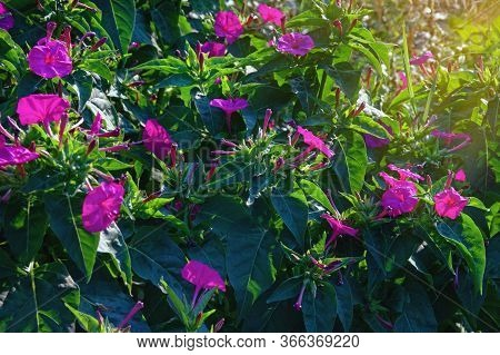 Magenta Flowers Of Mirabilis Jalapa (marvel Of Peru Or Four O'clock Flower) In Garden On Summer Even
