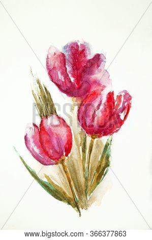 Watercolor Drawing Of The Tulip Isolated On The White Background. Illustration Of Red, Pink Flower.